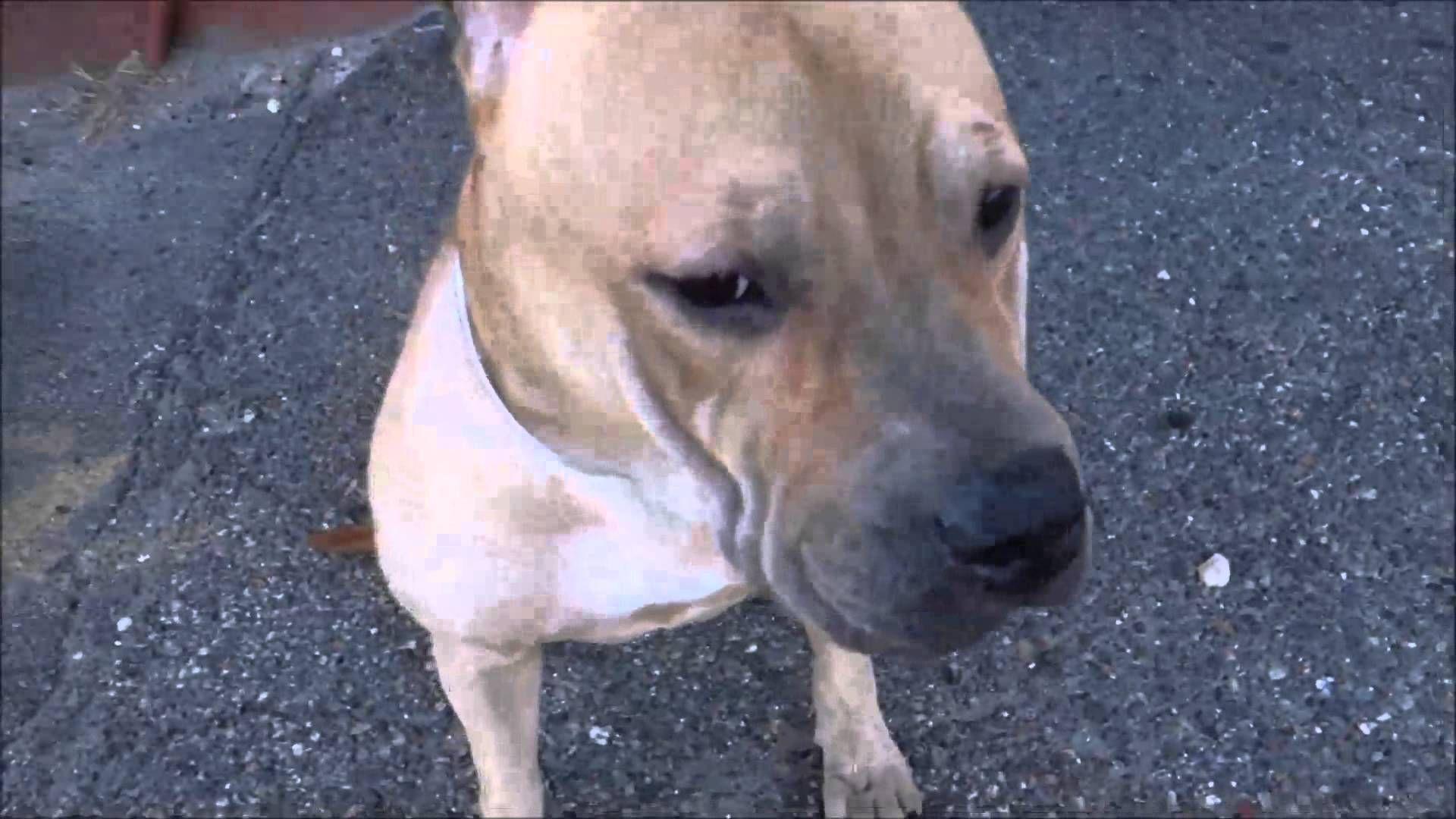 CUPCAKE A0995694 BROOKLYN NYC ACC No kill animal shelter