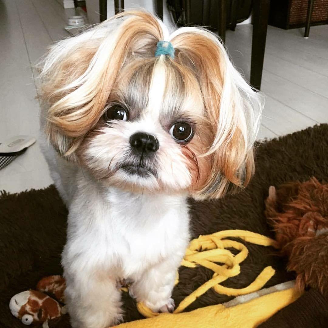 Dog With A Ponytail Shih Tzu Hair Styles Shih Tzu Haircuts Dog