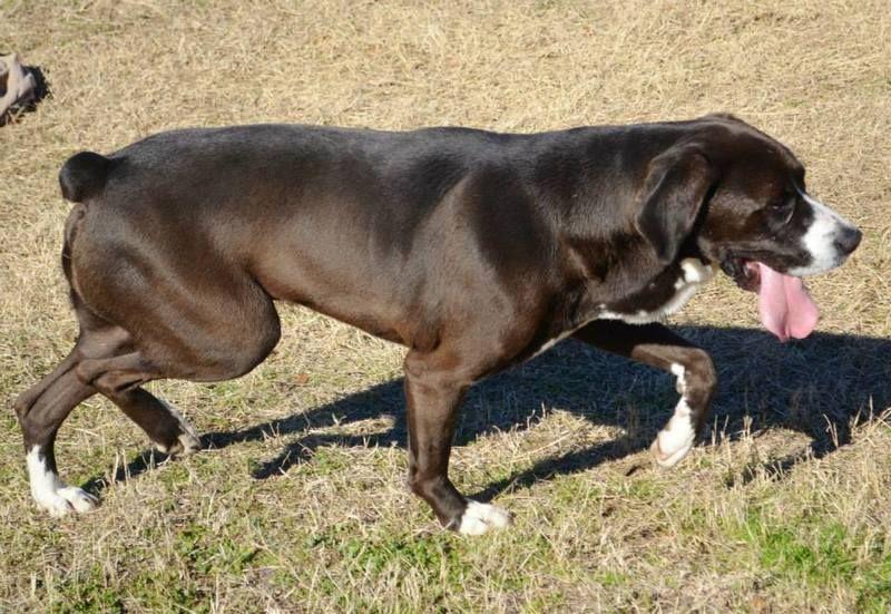 Adopt Herman On Beautiful Dogs Great Dane Mix Rottweiler