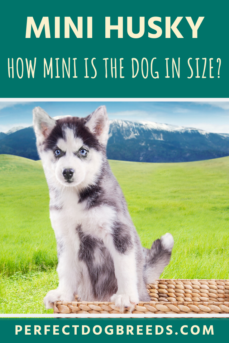 Miniature Husky Size