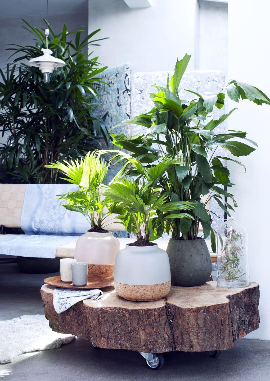Woonplanten van de maand februari exclusieve palmen agora group ro liny pinterest - Hangende zimmerpflanzen ...