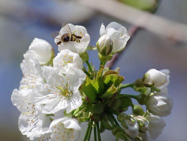 A bee disappered / Eine Biene taucht ab