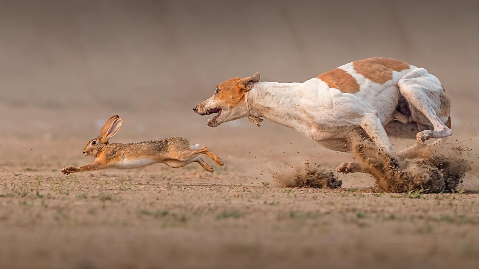 Image result for dogs chasing a rabbit pictures