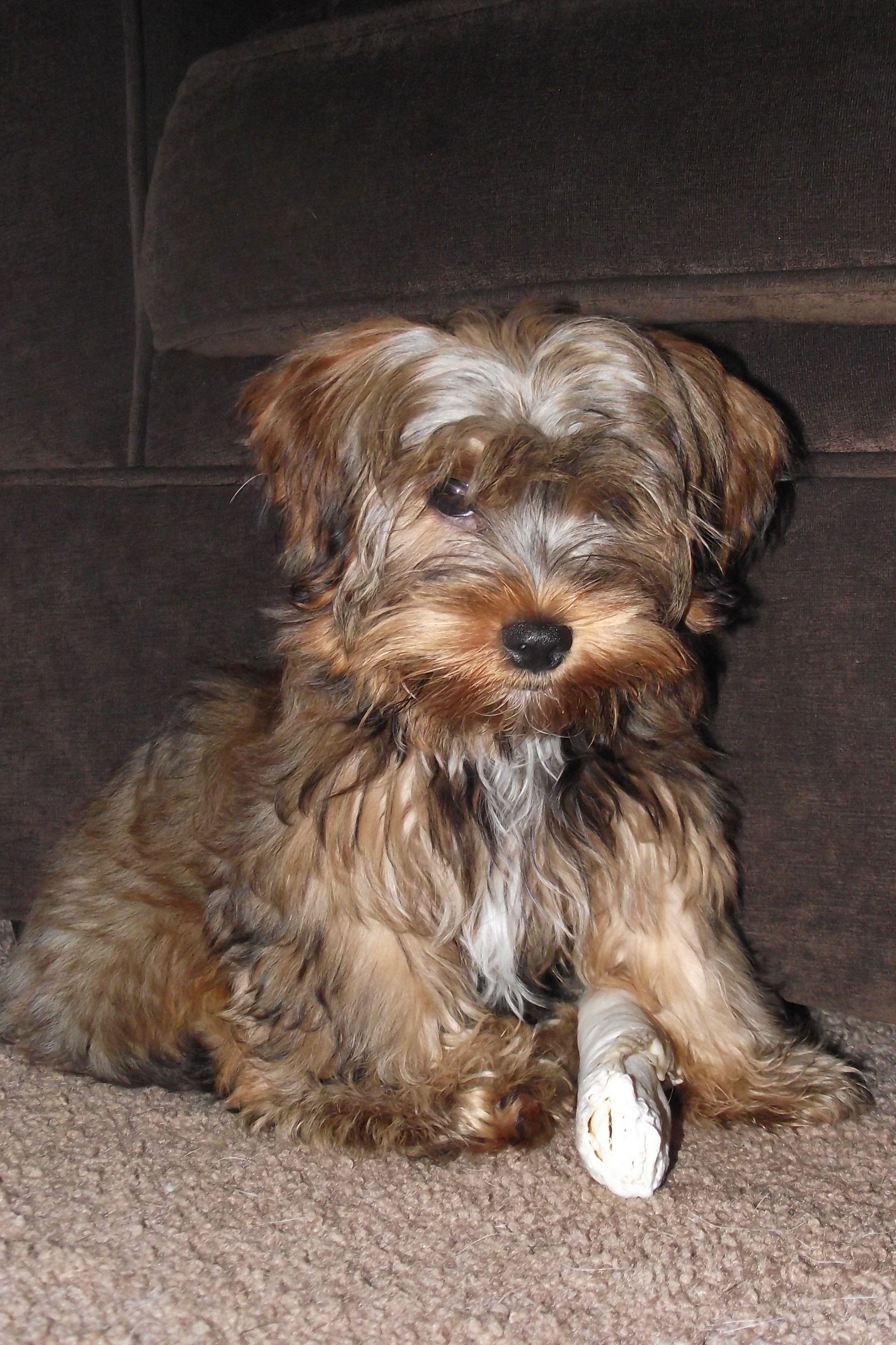 its mine yorkiepoo dogs cute yorkiepoo1com Pinterest