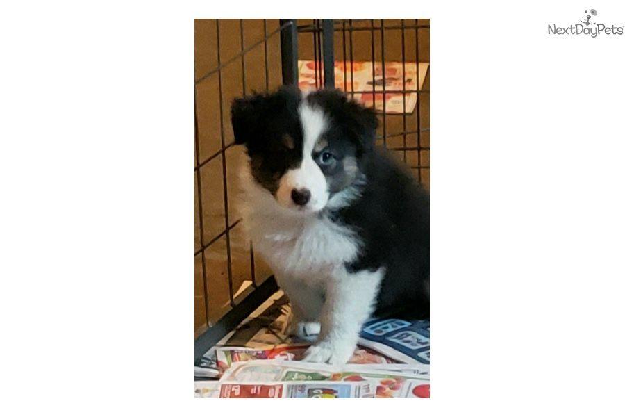 Patsy Australian Shepherd puppy for sale near Dallas
