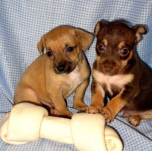 Jack Chi Hybrid Dogs Jackchi Jack Chi Jackahuahua Dogs