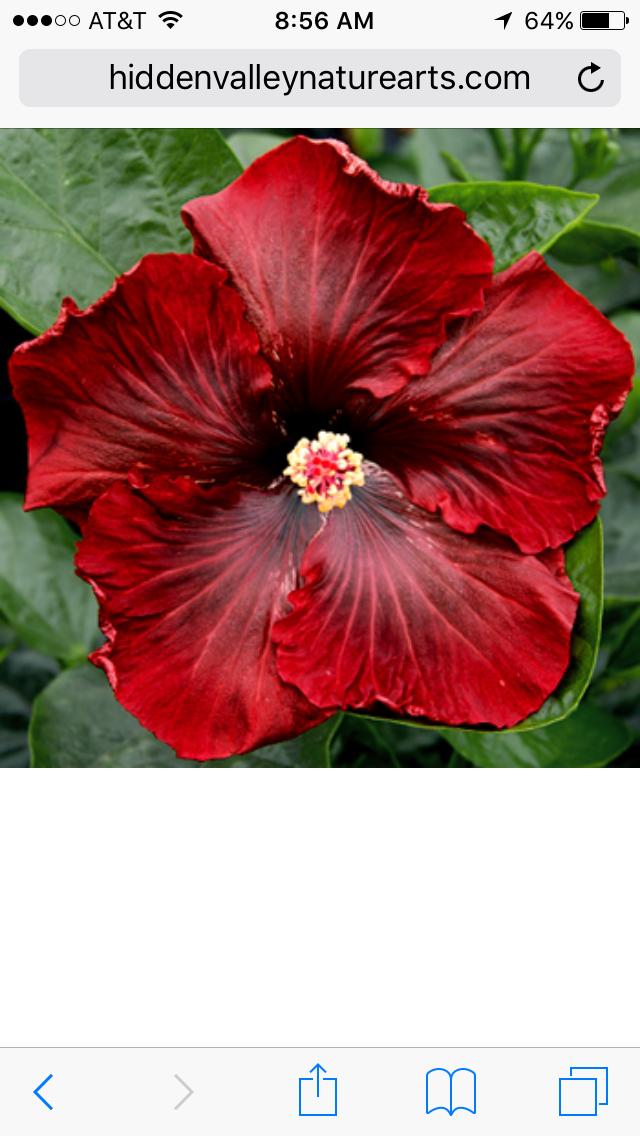 Black dream hibiscus   Gardening with Annuals   Exotic
