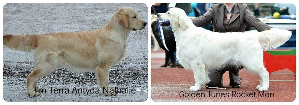 Beautiful English Golden Retriever Puppies Available Summer 2018 In The Unite English Golden Retriever Puppy Golden Retriever Golden Retriever White