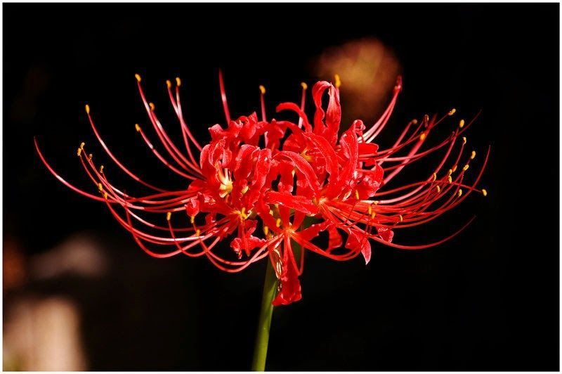 Lycoris red spider lily manjushage red spider lily