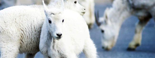 Lamb or Kid? - Parshah Focus - Parsha