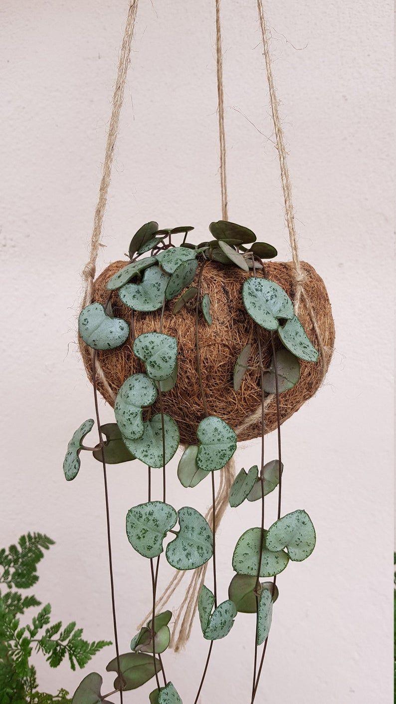 String of Hearts (Ceropegia Woodii) Kokodama Hanging Planter – plant + kokodama pot + hanger planter