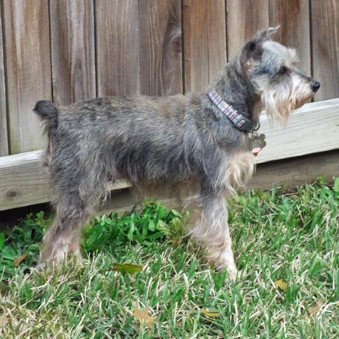Adopt Miss Debbie On Schnauzer Miniature Schnauzer Schnauzer Puppy
