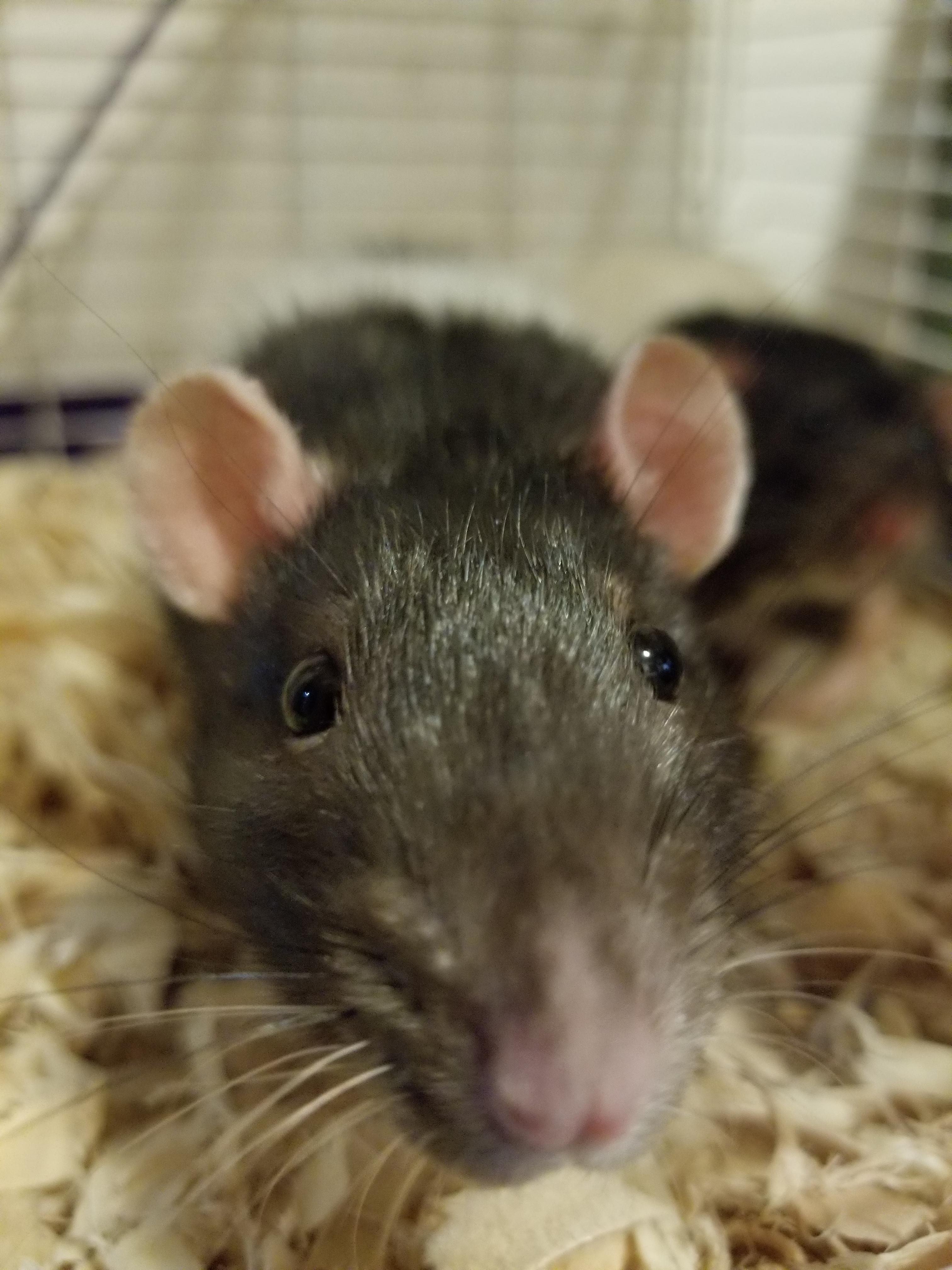 small boi #aww #cute #rat #cuterats #ratsofpinterest #cuddle #fluffy