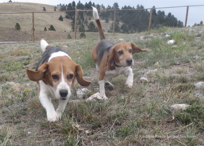 5 Former Research Beagles Learn What It Means To Be Loved Cute
