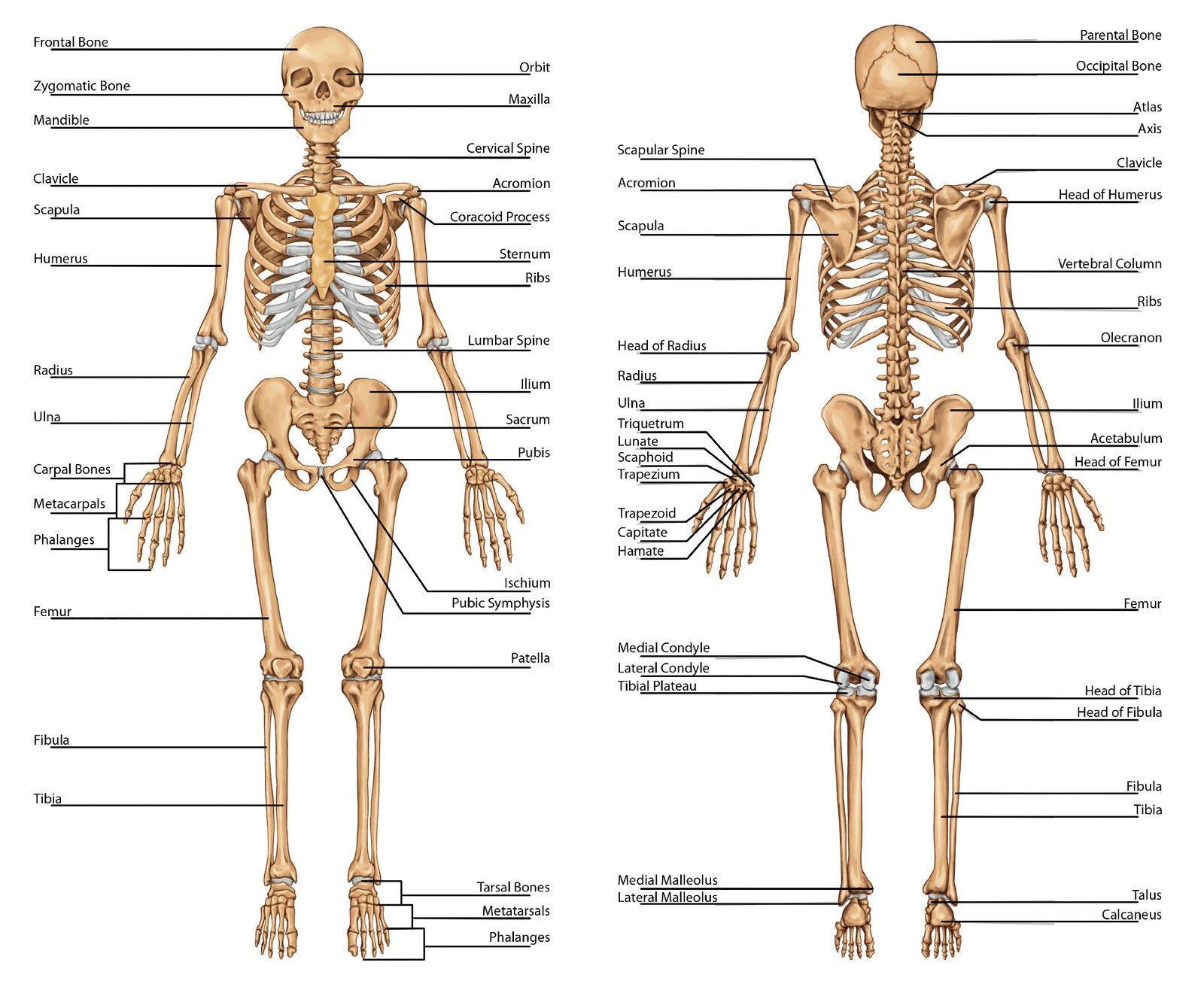 Human Anatomy Bones Diagram Anatomy Of Bones In Human Body