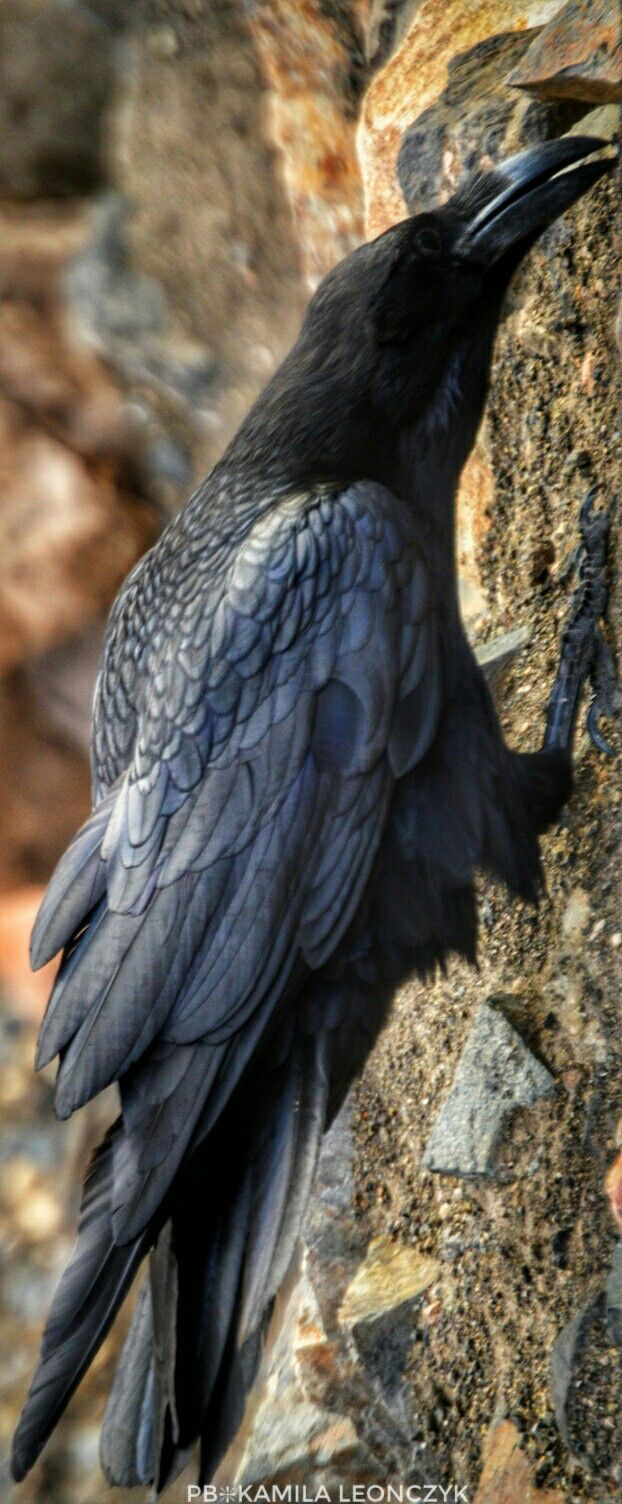 The common raven corvus corax also known as the northern raven jackdaw buycottarizona
