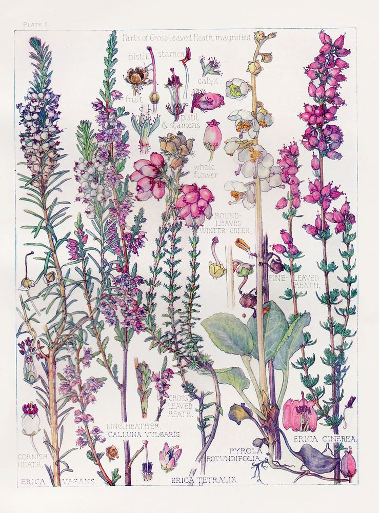 Botanical Print - Heathers - by Isabel Adams -Watercolour ...