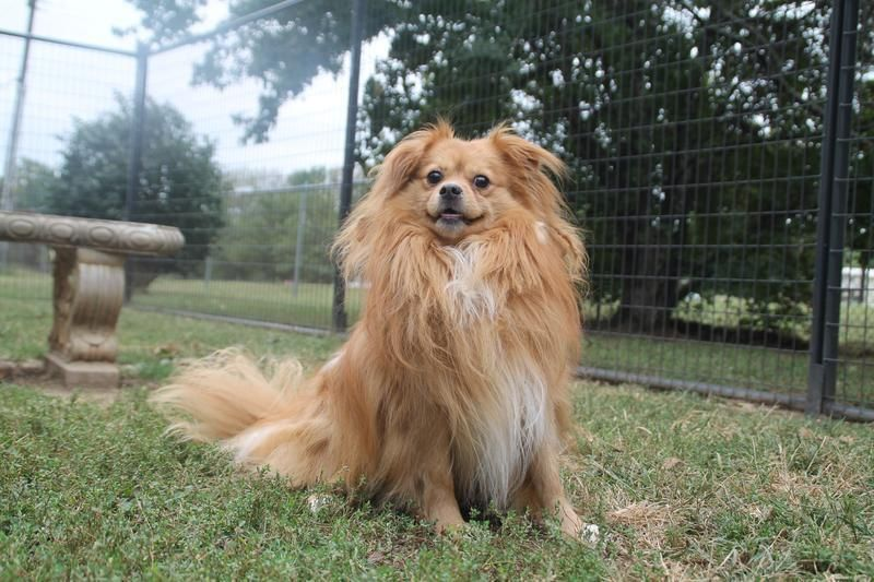 Milo is an adoptable Pomeranian searching for a forever