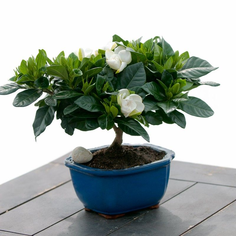 Gardenia Bonsai With Images Plants Planting Flowers