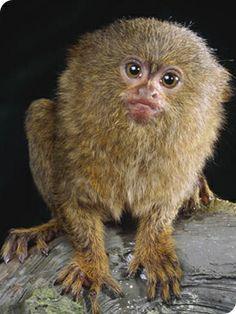 Quokka For Sale Google Search Tiny Monkey Pygmy Marmoset Pet Monkey