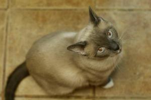 Adopt Romina On Cat Adoption Siamese Cats Cats