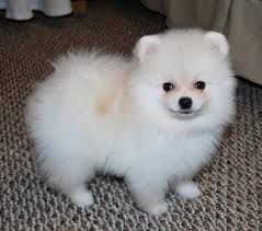 Full Grown Micro Teacup Pomeranian
