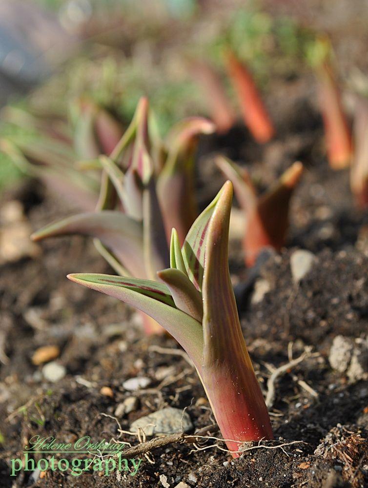 Budding Tulips