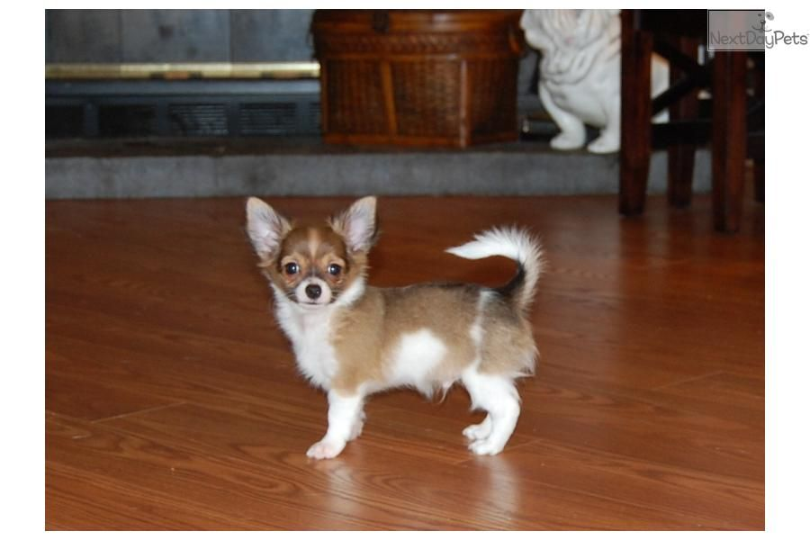 Meet Tully A Cute Chihuahua Puppy For Sale For 500 Akc Gorgous