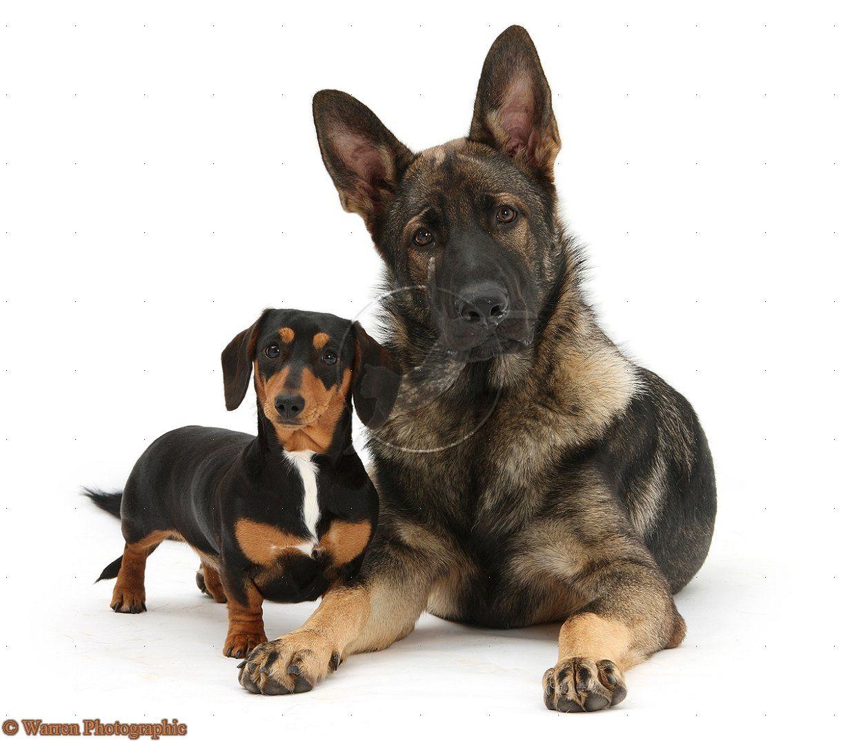 German shepherd and dachshund | German Shepherds: The #1 ...