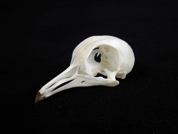 Dove Pigeon Bird Skull Taxidermy REAL