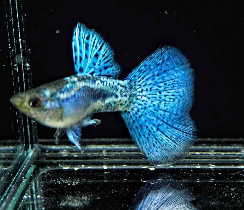 Pair Blue Grass Guppy Male Female Grade Aaa Free Economy Shipping In 2020 Tropical Fish Aquarium Animals Aquarium Fish Tank