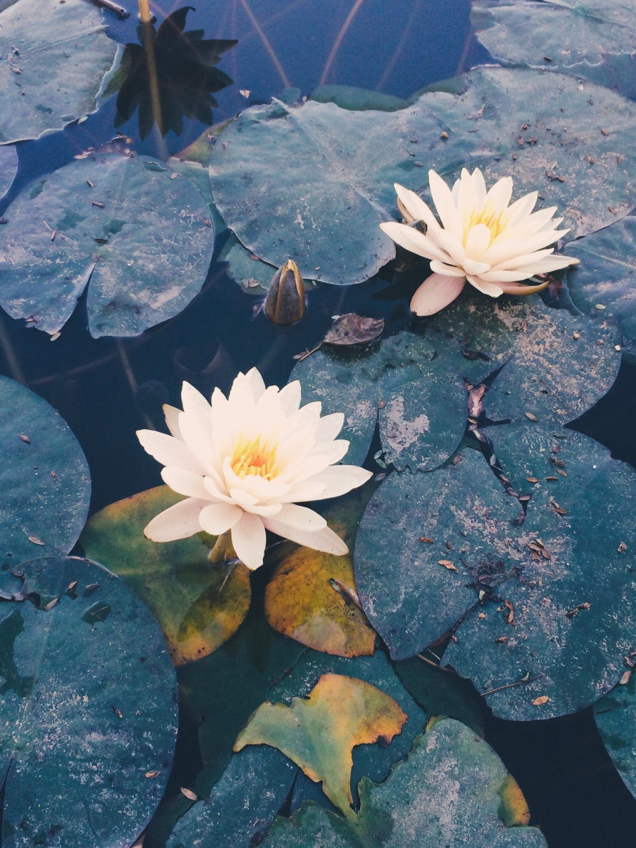 Danielodowd Maritzaa8 Flowers Nature Aesthetic Water Lilly