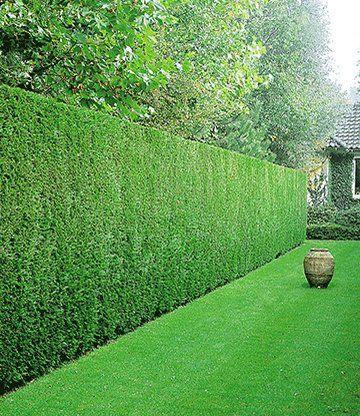 leyland-zypressen-hecke   kirsten   pinterest, Gartenarbeit ideen