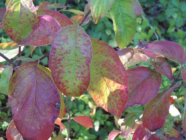 Leaves Of Flowering Dogwood Turning Red Plant Leaves Botanical