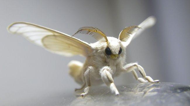 Silk Worm Moth Silkworm Moth Weird Creatures Cute Moth