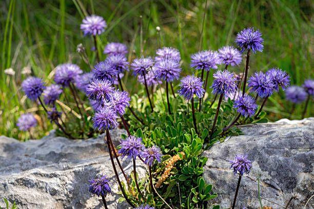 Skabioza Blekitek Plants