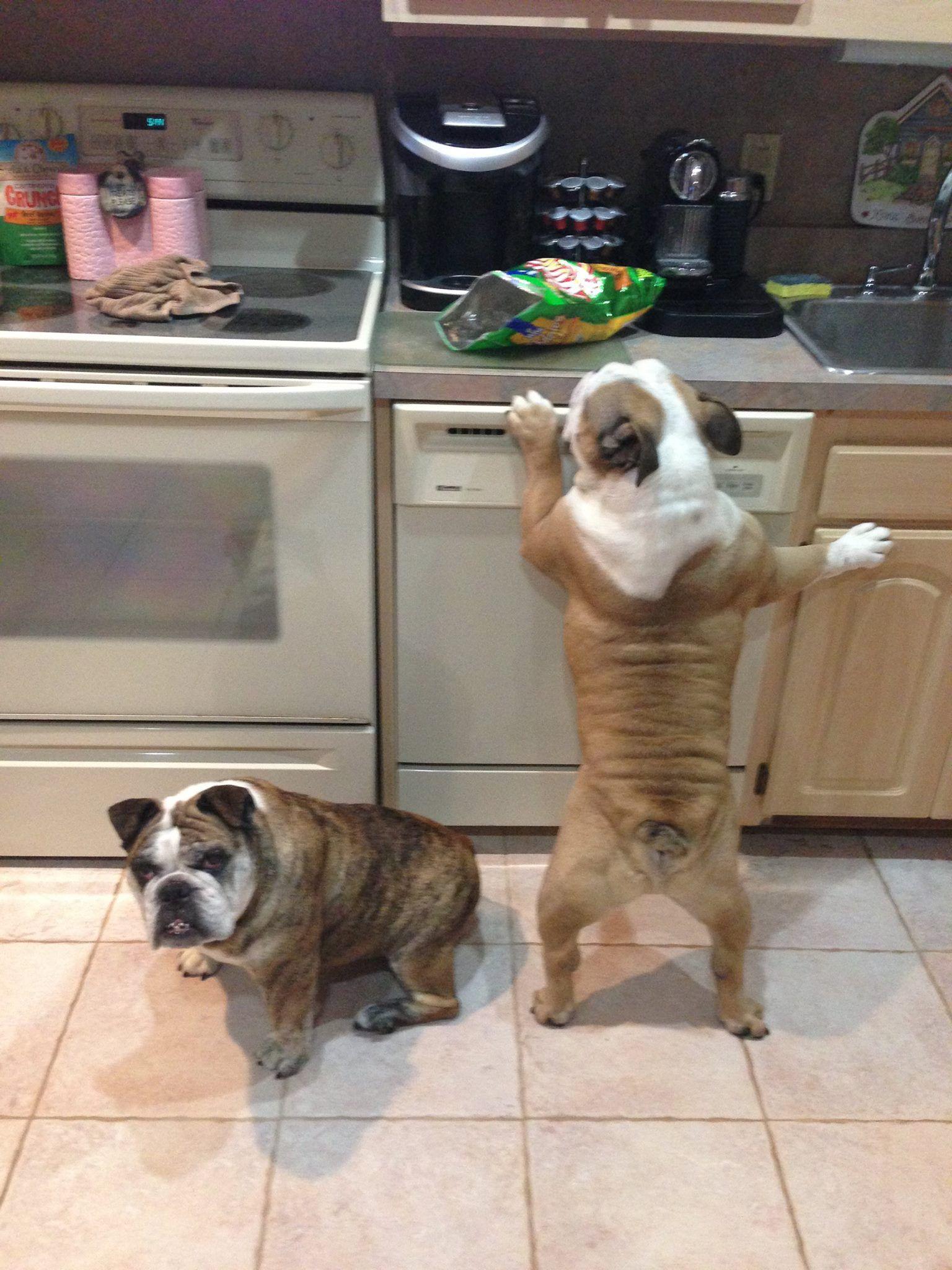 I Ll Stand Guard You Grab The Chips Bulldog Puppies English