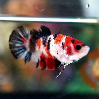 Betta Female Fancy Multi Color Koi Sanke Perfect Top View Pattern Betta Fish Tank Koi Betta Betta