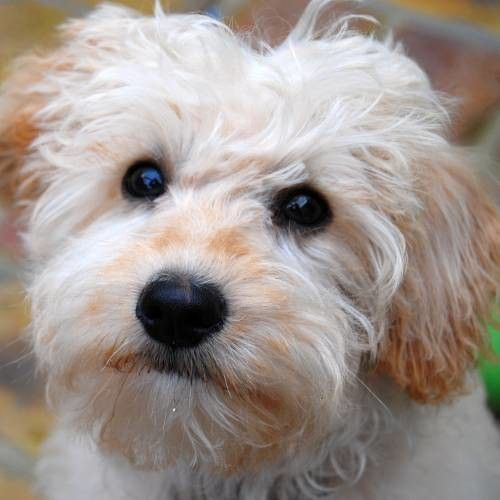 The Schnoodle Hybrid Cross Breed Dog, Poodle X and