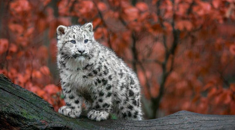 Animals Big Cats Snow Leopards Baby Animals Germany Fall Hd