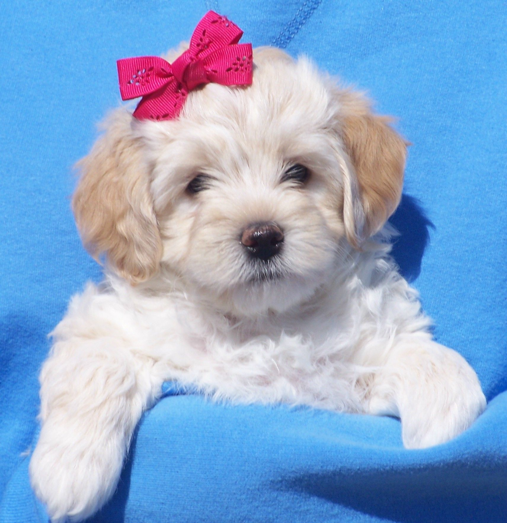 Previous Litter Photos Havapoo & Havanese Puppies