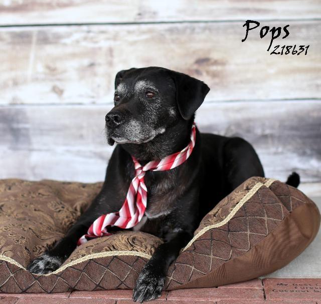 10 31 14 Still Listed Petfinder Senior Pops Labrador Retriever Mix Adult Labrador Retriever Mix Animals