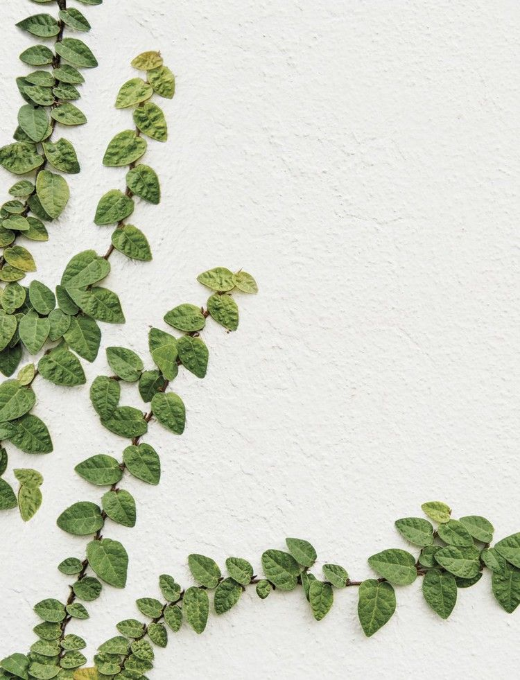 Creeping Fig Ivy The Magnolia Journal Creeping Fig Ivy Flower
