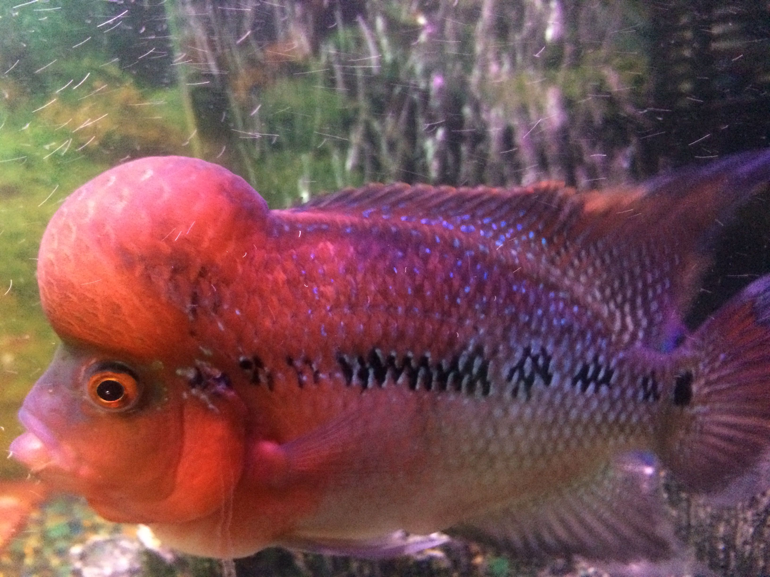Flowerhorn Cichlids | Flowerhorn | Pinterest | Cichlids, Freshwater ...