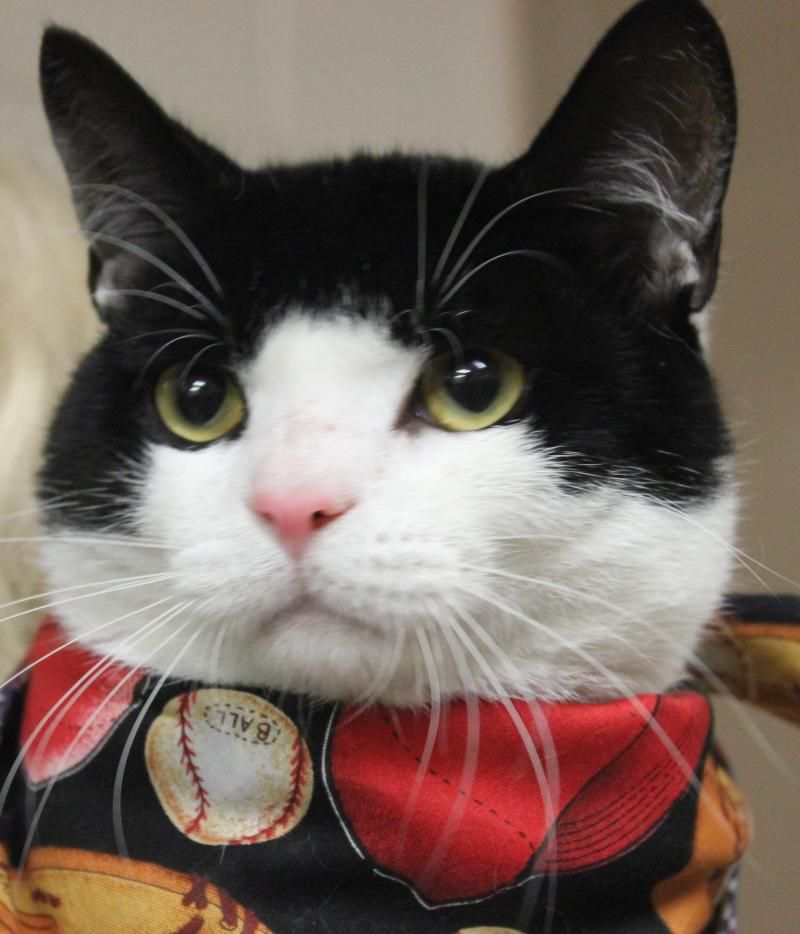 Adopt SNICKERS on Cat adoption, Pets, Cats and kittens