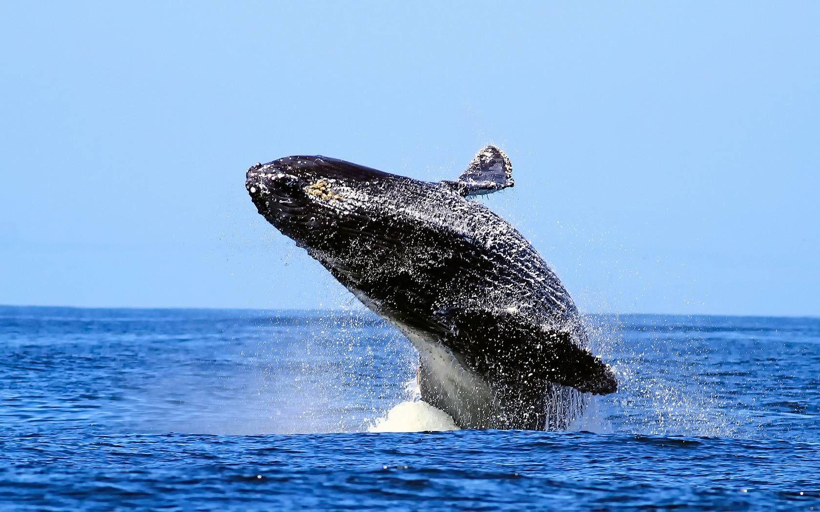 Full HD p Whale Wallpapers HD, Desktop Backgrounds  1680×1050 Whale Wallpapers (48 Wallpapers) | Adorable Wallpapers