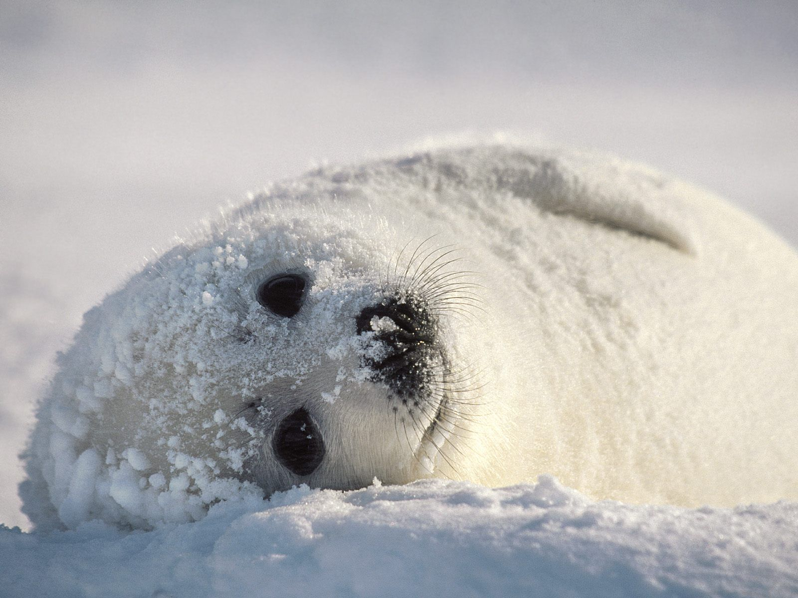 Harp seals | Harp Seal | Cute Animal Interesting Facts & Images | The Wildlife