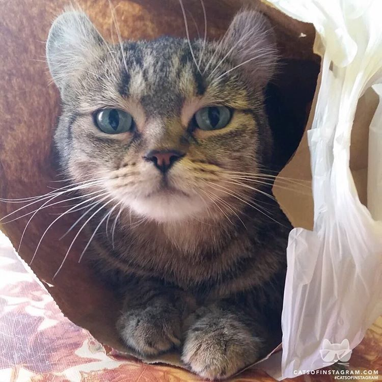 From Katina35g Dooney In A Bag Look At Those Curledears Polydactylcats Highlandlynx Twitterweek Catsofi With Images Cats Of Instagram Cats Tabby Cat