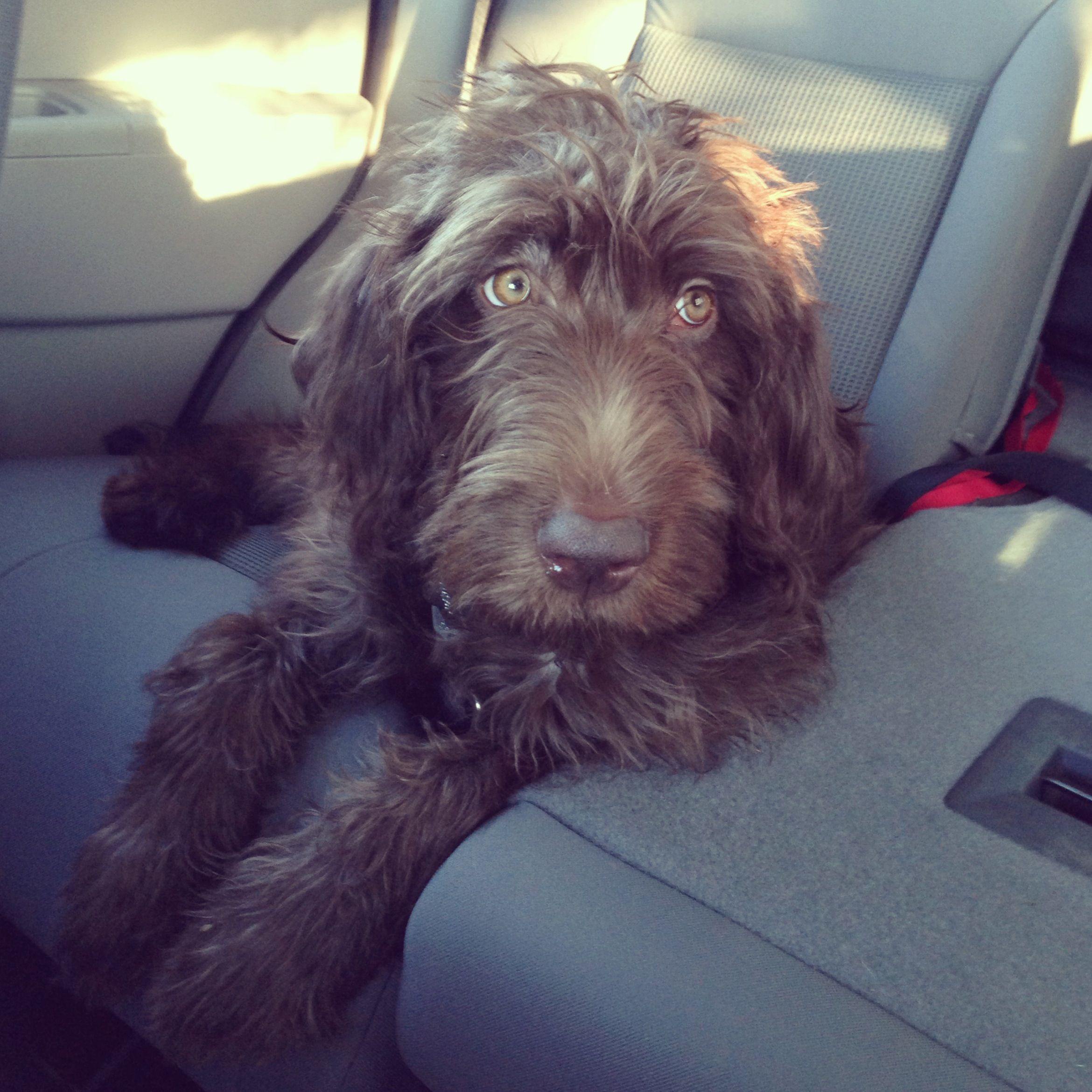 Sadie Chocolate Labradoodle Chocolate Labradoodle Chocolate