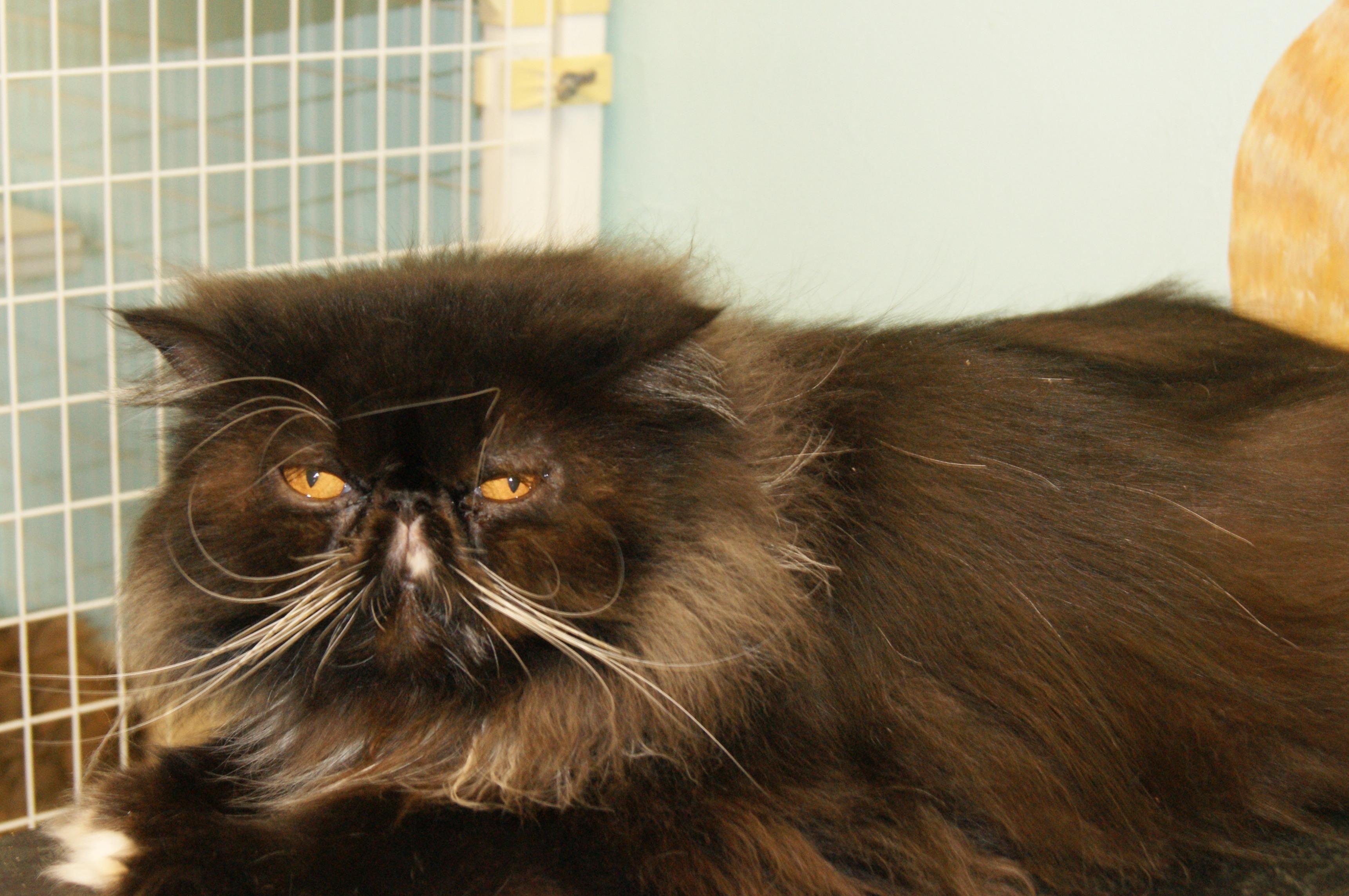 Adopt Baxter on Adoption, Cats, Pet adoption